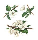Flores de la manzana de la acuarela fijadas stock de ilustración