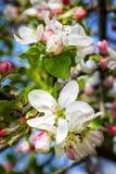 Flores de la manzana de la primavera Imágenes de archivo libres de regalías