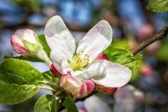 Flores de la manzana de la primavera Fotografía de archivo