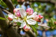 Flores de la manzana de la primavera Imagenes de archivo