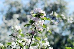 Flores de la manzana ramifique con las frutas Manzano floreciente pueda Imagen de archivo