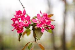 Flores de la manzana salvaje Foto de archivo