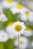 Flores de la manzanilla. Fotos de archivo