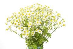 Flores de la manzanilla, Fotografía de archivo libre de regalías