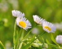 Flores de la manzanilla Fotografía de archivo
