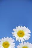Flores de la manzanilla Imagenes de archivo