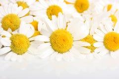 Flores de la manzanilla Foto de archivo