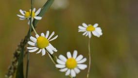 Flores de la manzanilla metrajes
