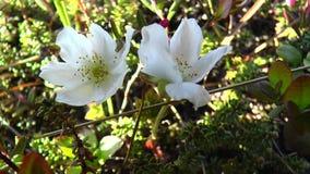 Flores de la manzanilla almacen de video