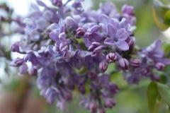 Flores de la manzanilla de CAMPO de HIERBA Imágenes de archivo libres de regalías
