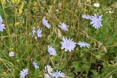 Flores de la manzanilla de CAMPO de HIERBA Foto de archivo libre de regalías