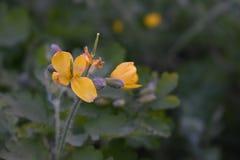 Flores de la manzanilla de CAMPO de HIERBA Foto de archivo