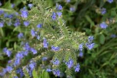 Flores de la manzanilla de CAMPO de HIERBA Fotografía de archivo