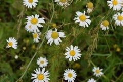 Flores de la manzanilla de CAMPO de HIERBA Imagen de archivo libre de regalías
