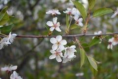 Flores de la manzanilla de CAMPO de HIERBA Fotos de archivo