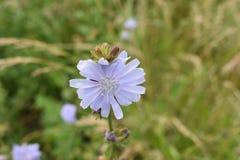 Flores de la manzanilla de CAMPO de HIERBA Fotografía de archivo libre de regalías