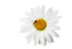 Flores de la manzanilla con la abeja Fotos de archivo