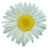 Flores de la manzanilla de la margarita blanca Imagen de archivo