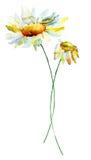 Flores de la manzanilla del verano Imagen de archivo libre de regalías