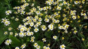Flores de la manzanilla en el jardín fotos de archivo libres de regalías