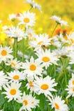 Flores de la manzanilla en el jardín fotografía de archivo
