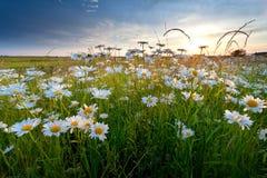 Flores de la manzanilla en luz de la puesta del sol del oro Imagen de archivo libre de regalías