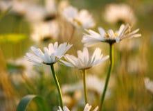 Flores de la manzanilla en prado en luz de la puesta del sol Imagenes de archivo