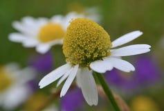Flores de la manzanilla en un campo del país foto de archivo