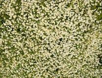 Flores de la manzanilla Manzanilla farmacéutica Manzanilla de la planta medicinal, floreciendo Imagen de archivo libre de regalías