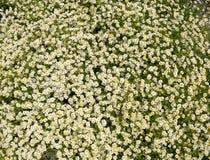 Flores de la manzanilla Manzanilla farmacéutica Manzanilla de la planta medicinal, floreciendo Fotos de archivo libres de regalías