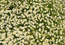 Flores de la manzanilla Manzanilla farmacéutica Manzanilla de la planta medicinal, floreciendo Imágenes de archivo libres de regalías