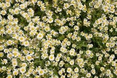 Flores de la manzanilla Manzanilla farmacéutica Manzanilla de la planta medicinal, floreciendo Fotos de archivo