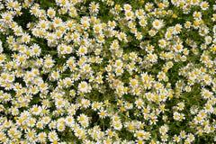 Flores de la manzanilla Manzanilla farmacéutica Manzanilla de la planta medicinal, floreciendo Foto de archivo libre de regalías