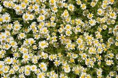 Flores de la manzanilla Manzanilla farmacéutica Manzanilla de la planta medicinal, floreciendo Fotografía de archivo