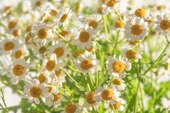Flores de la manzanilla, fondo floral hermoso imágenes de archivo libres de regalías