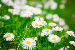 Flores de la manzanilla salvaje imagen de archivo libre de regalías