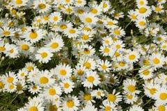 Flores de la manzanilla salvaje Foto de archivo