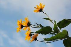 Flores de la manzanilla salvaje en un día soleado del campo Profundidad baja de Fotos de archivo
