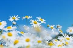 Flores de la manzanilla y cielo azul imagenes de archivo