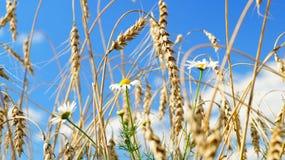Flores de la manzanilla y oídos del trigo imagenes de archivo