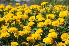 Flores de la maravilla Imagenes de archivo
