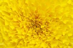 Flores de la maravilla Fotografía de archivo