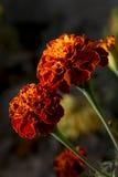 Flores de la maravilla Imágenes de archivo libres de regalías