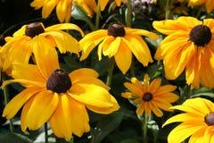 Flores de la maravilla Fotos de archivo libres de regalías