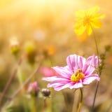 Flores de la maravilla Fotografía de archivo libre de regalías