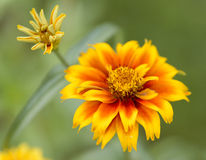 Flores de la maravilla Fotos de archivo