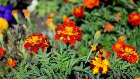 Flores de la maravilla almacen de video