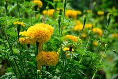 Flores de la maravilla Foto de archivo libre de regalías