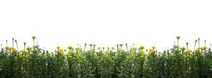 Flores de la maravilla aisladas en blanco Fotos de archivo
