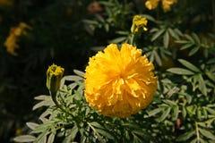 Flores de la maravilla, color de oro Imagenes de archivo